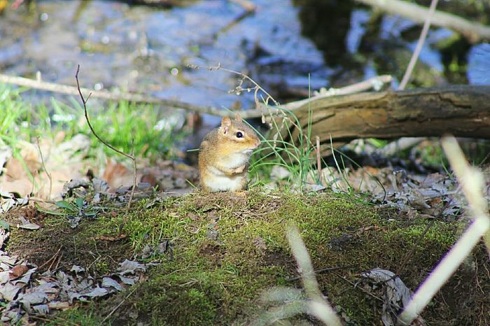 Chipmunk Animals In The Wild One Animal No People Nature Day Outdoors Grass Close-up Small Animal