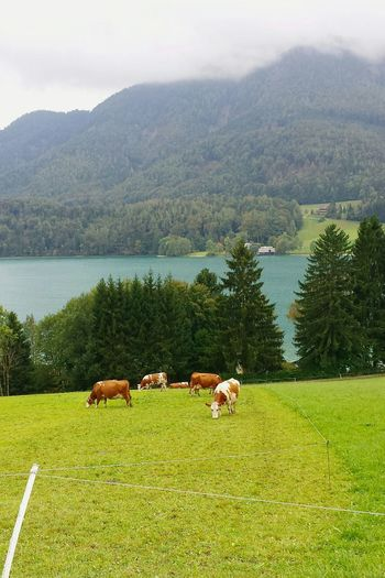 Horses grazing on field by lake against mountains