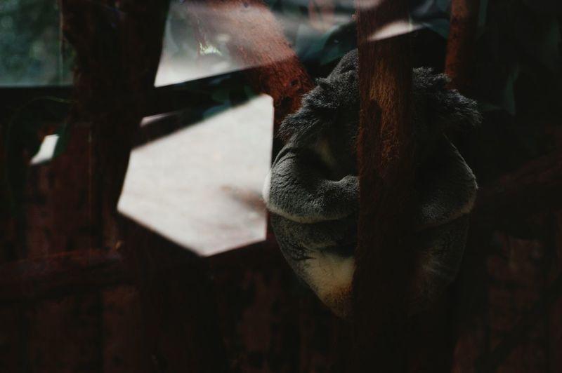 Koala on tree trunk seen through glass in zoo
