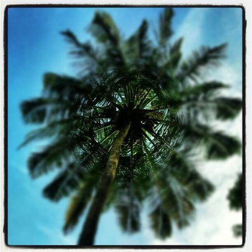 Pilotpats Coconuttree Lookupinthesky