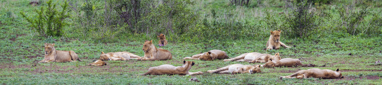 Lionesses relaxing on land