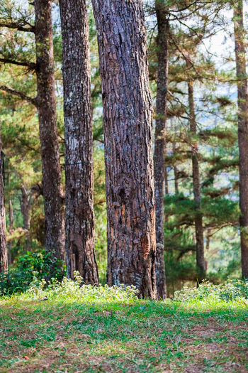 pine trees Beauty In Nature Coniferous Tree Day Environment Forest Grass Growth Land Landscape Nature No People Outdoors Pine Tree Pine Woodland Plant Scenics - Nature Tranquil Scene Tranquility Tree Tree Trunk Trunk WoodLand