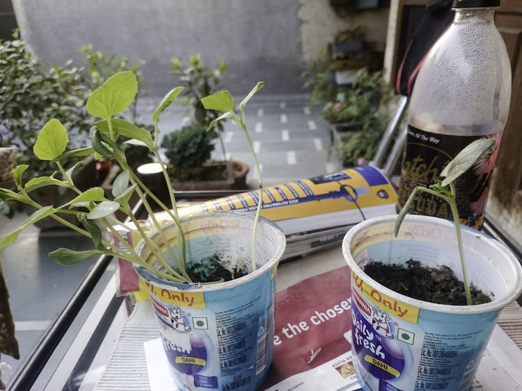 """""""Editorial - Do not have permissions from brand. These small plastic cups (which carried yoghurt) are ideal for growing seedlings. Just put some soil inside the cup, add some seeds and then wait for the seedlings to emerge. The one with many seedlings is a long variety of cucumber and the other one contains one seedling is okra."""" Cucumber Seedlings Growing Food At Home Growing Seedlings Home Garden Plants Close-up Cucumber Plant Day Food Greenery Growing Food Growing From Seed Growth Kitchen Garden Leaves Nature No People Organic Garden Organic Gardening Plant Potted Plant Seedling"""