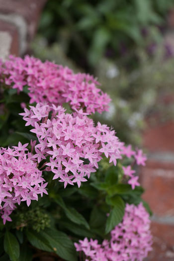 Pink flowers on an Egyptian starcluster Pentas lanceolata in a botanical garden in summer Beauty In Nature Close-up Day Egyptian Starcluster Flower Flower Head Fragility Freshness Garden Nature No People Outdoors Pentas Lanceolata Pink Color Pink Flower Plant