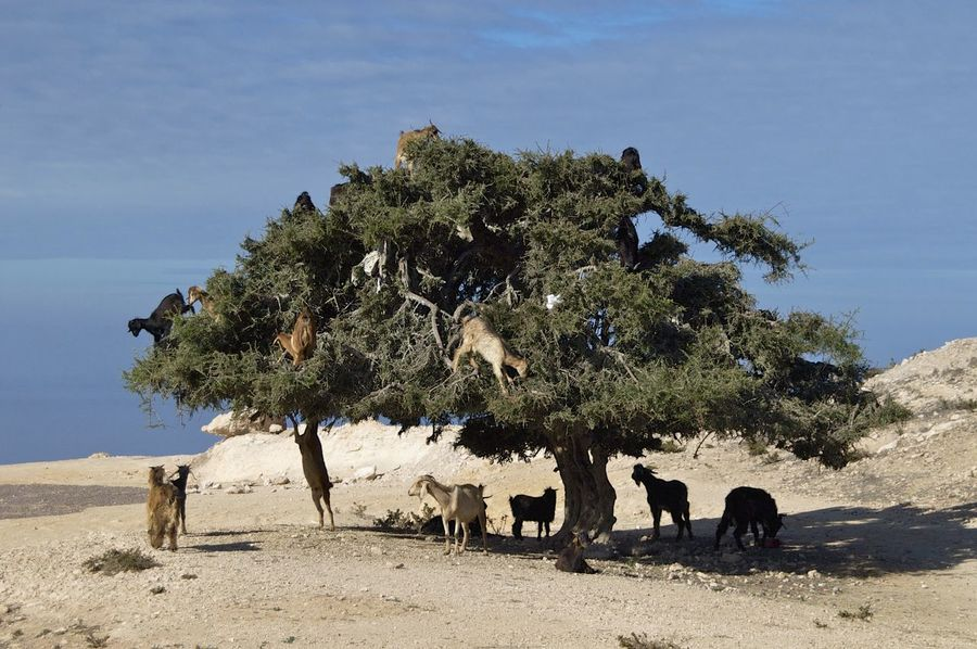 Goats in an Argan tree on the road to Agadir in Morocco. Argan Funny Goat Goats Morocco MoroccoTrip Agadir Agadir Morocco Animal In Tree Animal Themes Argan Tree Argan Trees Beauty In Nature Domestic Animals Livestock Mammal No People Outdoors Tree Go Higher