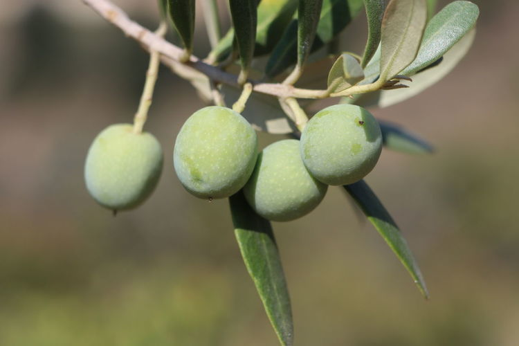 Olive on tree