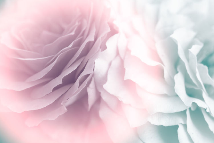 sweet of focus petal soft rose flower for background Flower Flowering Plant Pink Color Beauty In Nature Plant Close-up Freshness Vulnerability  Fragility Petal Flower Head Rosé Inflorescence Nature No People Softness