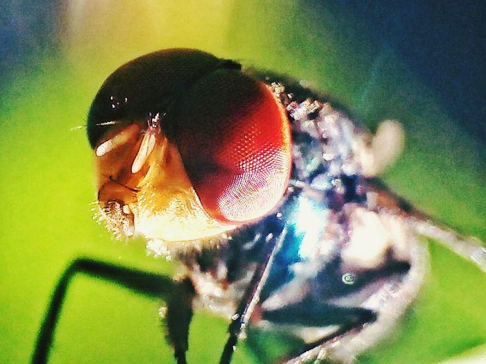 Flies Makro Photography Supermakro Eyes Closed  Eyes