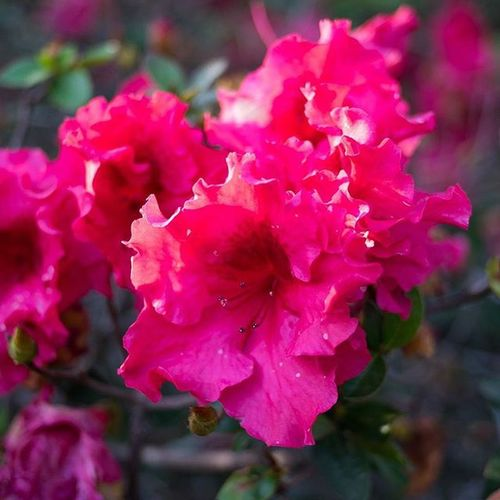 Beautiful Azaleas in bloom, spring is almost here and summer is around the corner. Azalea Flower Flowers Bush Nature Natural Naturehippys Natureshots Naturelover Natureaddict Scad Scadsav Floral Visitsavannah Mysavannah Discoversavannah SeeSAV Thisismyga Pink Pinkflowers Sunday Sun Sunrays