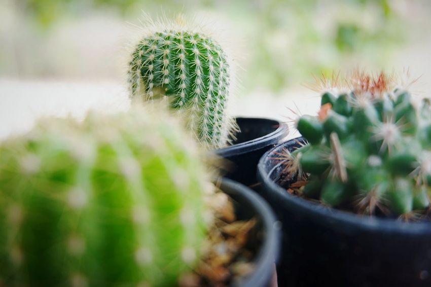 Plant Succulent Plant Growth Nature Selective Focus Cactus Green Color