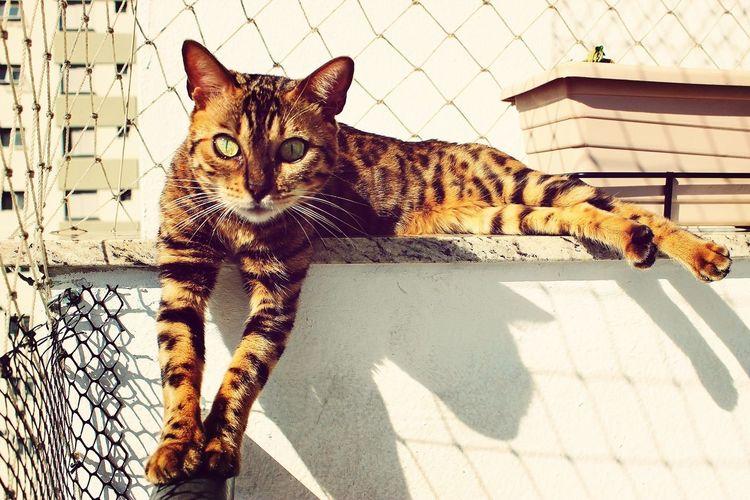 Mandy Cats Bengal Bengal Cat