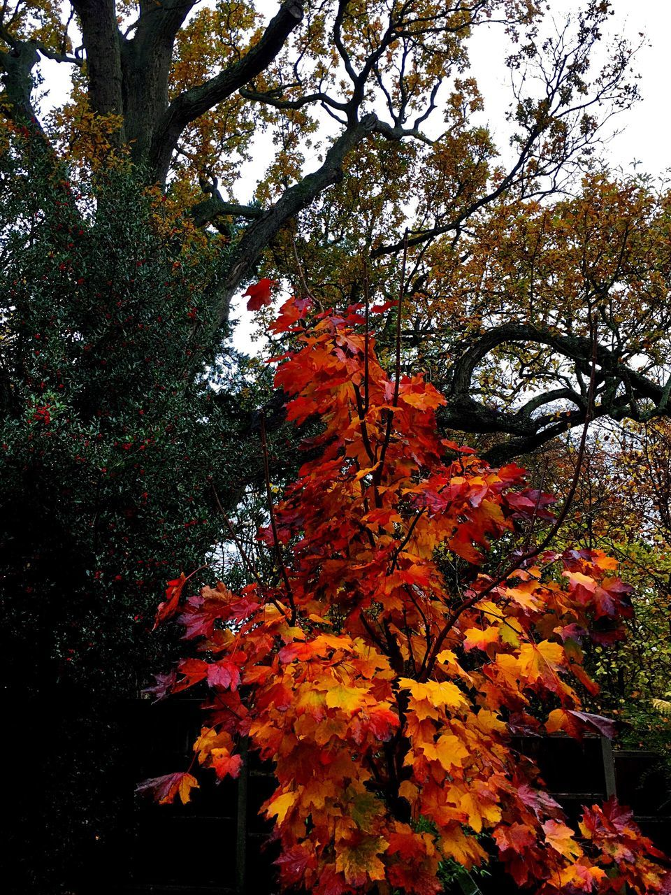 autumn, tree, change, leaf, orange color, nature, growth, maple leaf, branch, maple tree, beauty in nature, low angle view, no people, day, foliage, maple, outdoors, close-up