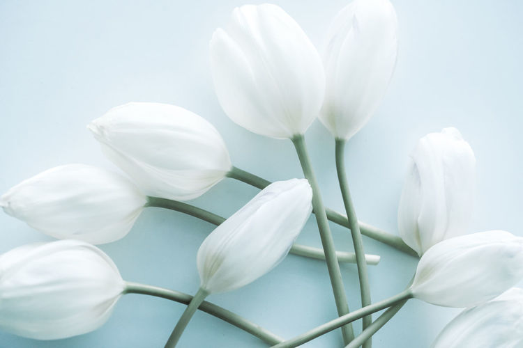 Flowering Plant Flower Beauty In Nature Freshness White Color Vulnerability  Fragility Plant Petal Close-up Growth Inflorescence Flower Head No People Nature Studio Shot Day White Background Plant Stem Outdoors Blue Background Tulip