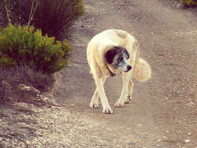Dog Animal Themes Pets Sheepdog Dancing On Guard Duty EyeEm Nature Lover EyeEmBestEdits EyeEmNewHere Workingdog Portugal Investing In Quality Of Life Breathing Space Pet Portraits The Week On EyeEm