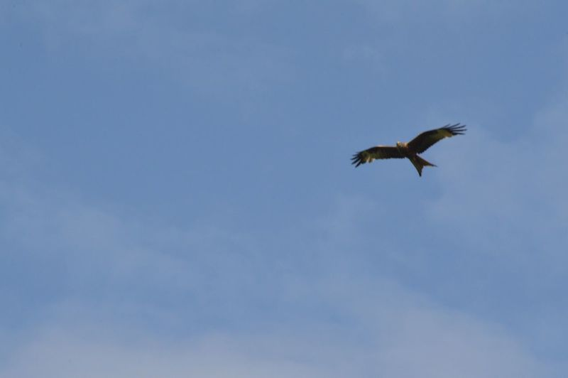 Red kite above Adel CC field in Leeds Flying Bird Animals In The Wild Animal Themes Spread Wings One Animal Low Angle View Animal Wildlife Wildlife Mid-air Nature Day No People Sky Outdoors Bird Of Prey Beauty In Nature