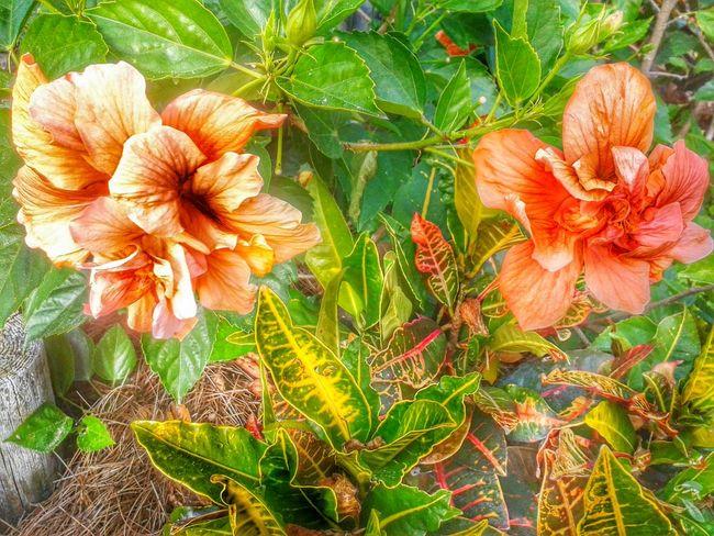Hibiscus 🌺Loving Flowers Loving Florida Flowerporn Flowers Flower Porn Flowers,Plants & Garden Florida