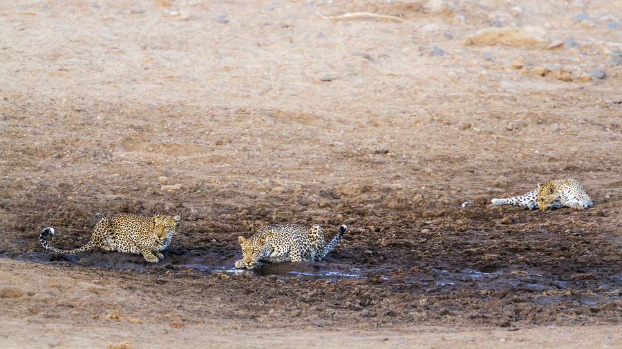 High angle view of leopards on land