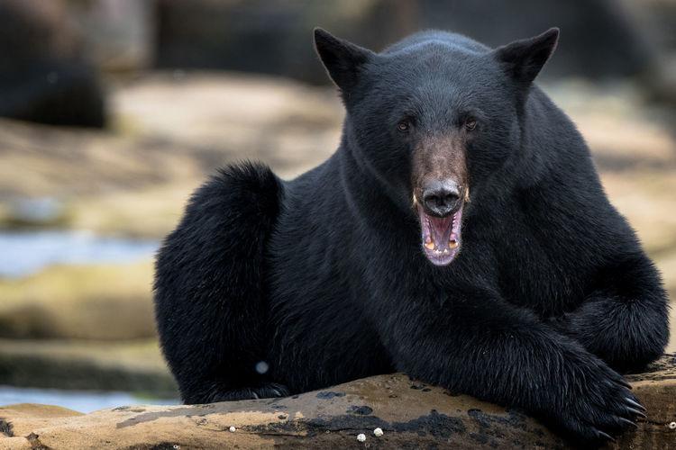 Black labrador retriever on rock