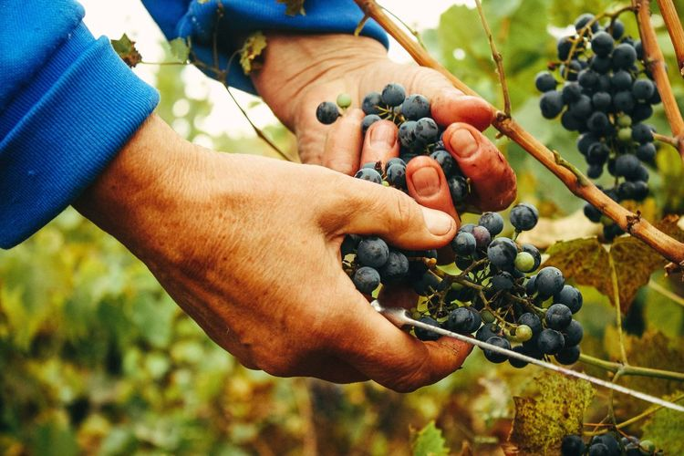 Close-Up Of Hands Picking Grapes
