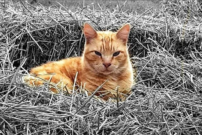 Marbles. Kitty Cat Spoiled Rotten Color Splash Portrait Red Tabby Farm Cat Lazy Fat Cat Showcase July Golden Moments 43