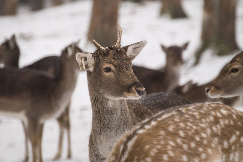 www.michaelwipperfuerth.de Deer Weather Winter Animal Animal Themes Animal Wildlife Animals In The Wild Close-up Cute Day Deers Forest Mammal Nature No People Outdoors Snow