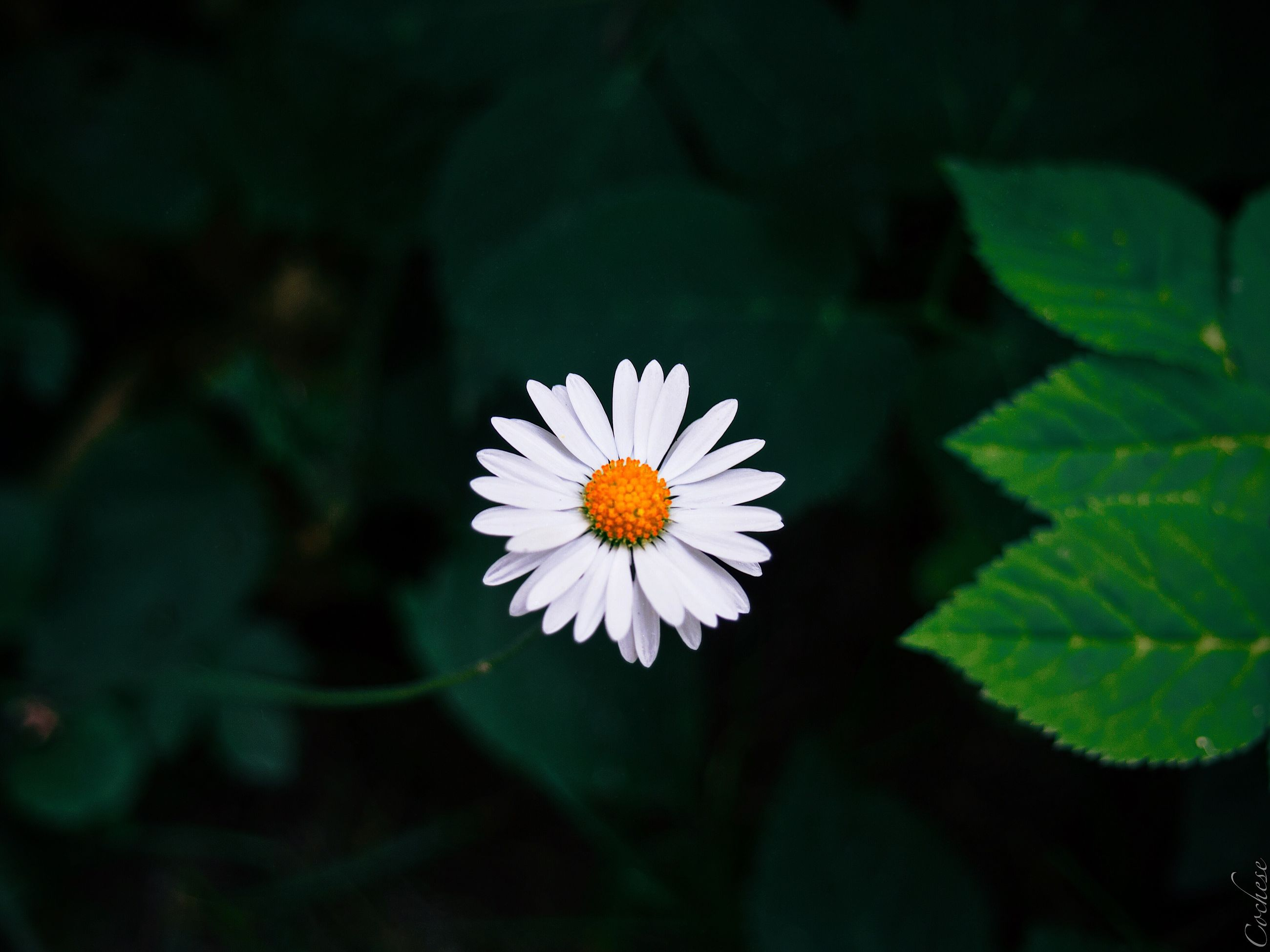 flower, flowering plant, plant, freshness, growth, beauty in nature, petal, fragility, vulnerability, flower head, close-up, inflorescence, focus on foreground, leaf, plant part, nature, white color, day, daisy, pollen, no people
