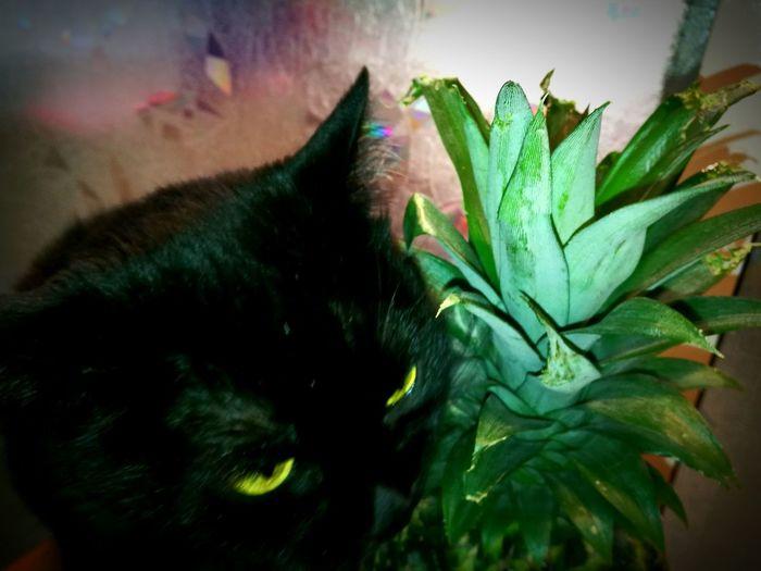 Cats Pineapple
