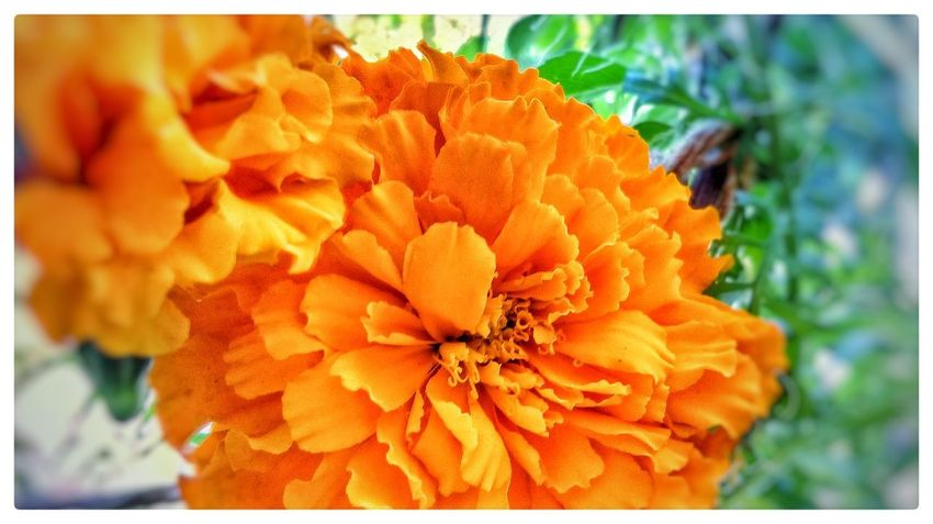 Flower Beauty In Nature Fragility Nature Freshness Close-up Flower Head Marigold Blooming Growth Plant Orange Color EyeEm Nature Collection EyeEm Nature Lovers MotoE Springtime Eyeem Flowers EyeEm Flowers Collection Nature Mobilephotography Focus On Foreground Beauty In Nature EyeEm Nature Lover