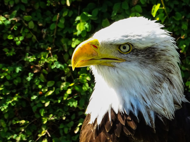 American Eagle Bald Eagle Bald Eagle Portrait Animal Themes Animal Wildlife Animals In The Wild Bald Eagle Bald Eagle Close-up Beak Bird Bird Of Prey Close-up Day Focus On Foreground Hornbill Nature No People One Animal Outdoors Tree