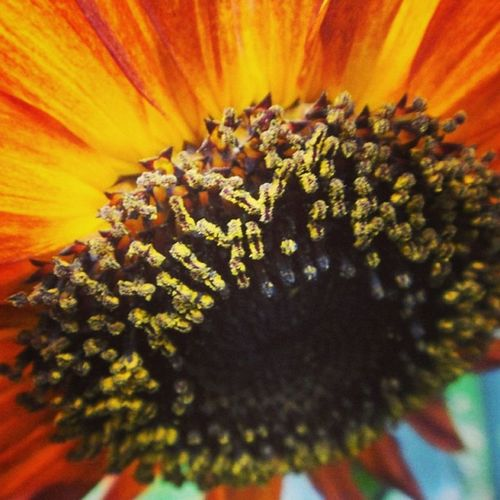 #sunflower #moulinrouge #petal #petals #nature #beautiful #love #pretty #plants #blossom #sopretty #flowerstagram #flowersofinstagram #flowerstyles_gf #flowerslovers #flowerporn #botanical #floral #florals #insta_pick_blossom #flowermagic #instablooms # Floweroftheday Flowerstyles_gf Nature Insta_pick_blossom Beautiful Flowerstagram Sunflower Instablooms Love Flowersofinstagram Petals Florals Pretty Flowermagic Plants Sopretty Bloom Flowerslovers Blossom Moulinrouge Floral Petal Flowerporn Botanical Blooms