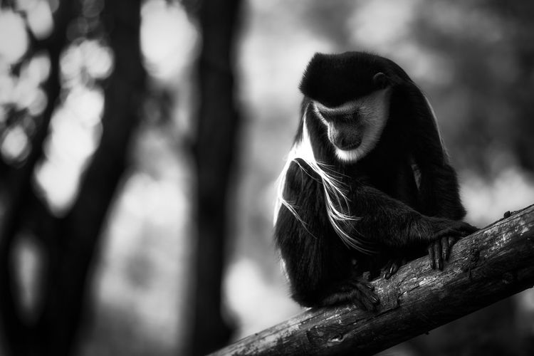 Lookout Ape EyeEm Best Shots EyeEm Nature Lover EyeEm Selects Hair Monkeys Animal Animal Themes Animal Wildlife Animals In The Wild Ape Branch Eye4photography  First Eyeem Photo Looking Looking Away Mammal Monkey Monochrome Nature Primate Sitting Tree Watching EyeEmNewHere The Portraitist - 2018 EyeEm Awards