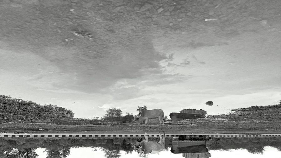Upside down. Reflections. Rural Scene Cloud - Sky Animal Wildlife Sky Mammal Indianphotographer Mobilephoto EyeEmNewHere Worldwide_shot Publish Magazine EyeEm Vision Photosfromindia Indiapictures Lenovovibeshot Abstract Photography Rajasthandiaries Travel Destinations Reflection Puddle Reflections Mix Yourself A Good Time
