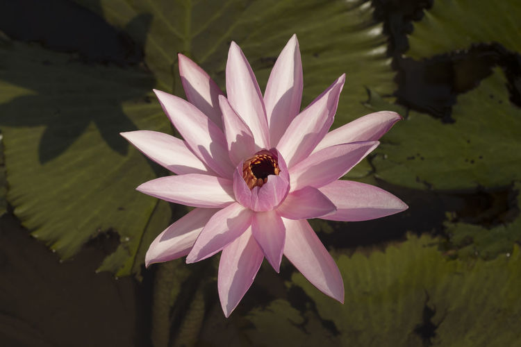 Lotus flower on sunday morning Flower Beauty In Nature Nature Lotus Water Lily Water Leaf Close-up Day Outdoors Flower Head Photography Fotografia Eyeemphotography Fotografi Stockphotography Image Market Photo Stockphoto Naturephotography Green Freshness