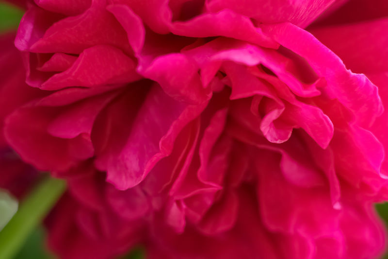 Mme Isaac Pereire - Bourbon Rose Beauty In Nature Bourbon Rose Cerise  Detail Flower Head Full Frame Macro Macro Beauty Macro_flower Macro Nature Macro Photography Macro_collection Macro_flower Macrophotography Mme Isaac Pereire Natural Pattern Nature Petal Pink Check This Out Pink Flower Pink Rose Roses Rosé