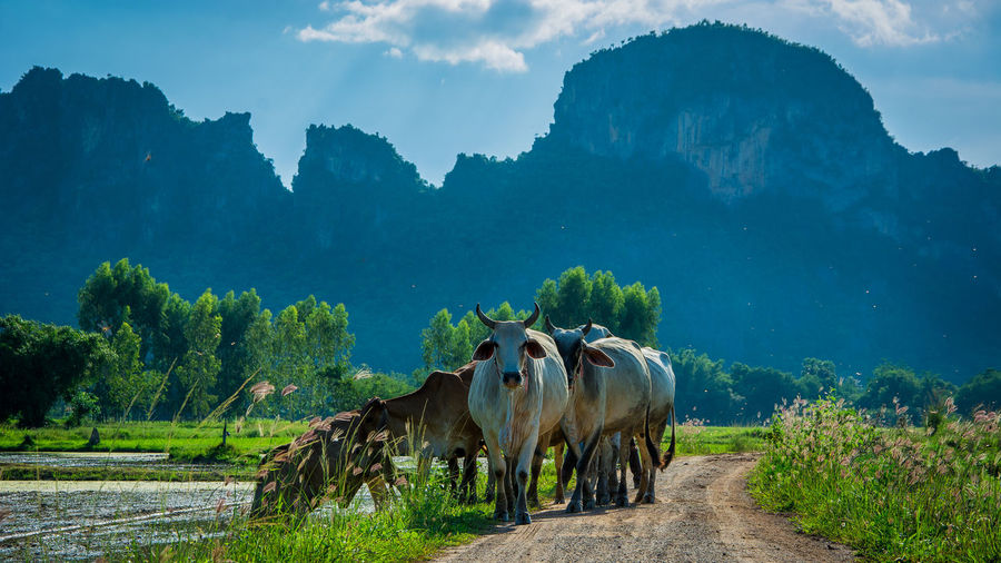 Cows on dirt road against mountains