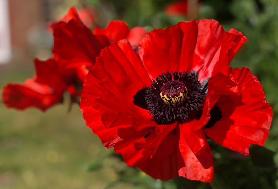 Poppy flower Beauty In Nature Close-up Day Flower Flower Head Flowering Plant Focus On Foreground Fragility Freshness Growth Inflorescence Nature No People Outdoors Petal Plant Pollen Red Vulnerability