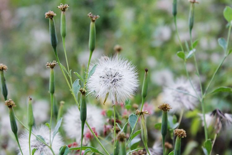 Because they were roses and I was just a dandelion Dandelion Nature EyeEm Nature Lover Wildflower Grass Outdoors Close-up Indonesia_photography