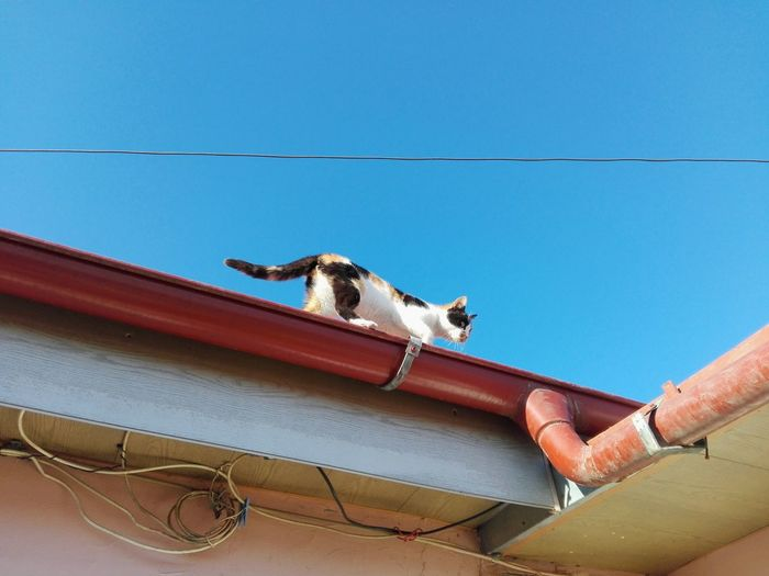 Cat On Roof Uppon Blue Sky Selected For Premium WOLFZUACHiV PREMiUM Ionita Veronica Photography Veronica IONITA Photography Colorful EyeEm Selects Cats Of EyeEm Domestic Animals No People WOLFZUACHiV Photography Huaweiphotography Ionita Veronica Veronica Ionita On Market Eyeem Market Huawei Photography Wolfzuachiv WOLFZUACHiV Photos Cat Calico Cat Animal Themes Cables Wires One Animal Blue Low Angle View Clear Sky Sky Outdoors Colour Your Horizn Stories From The City Go Higher Visual Creativity