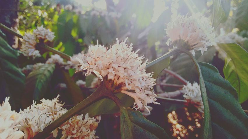 Showcase March Coffee Plantations Coffee Flower Coffee Beans Coffee EyeEm Nature Lover Country Life