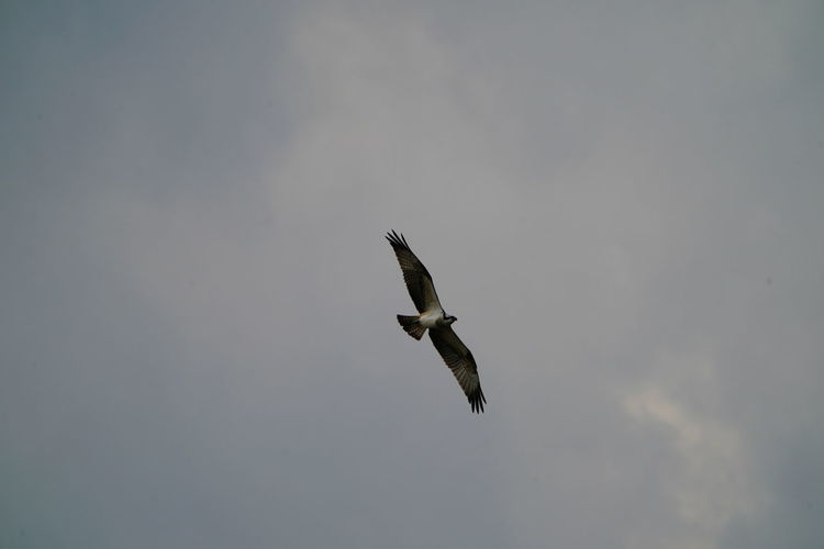 Animal Animal Themes Animal Wildlife Animals In The Wild Bird Bird Of Prey Day Eagle Flying Freedom Low Angle View Mid-air Motion Nature No People One Animal Outdoors Seagull Sky Spread Wings Vertebrate