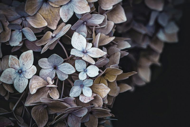 Close-up of wilted hydrangea