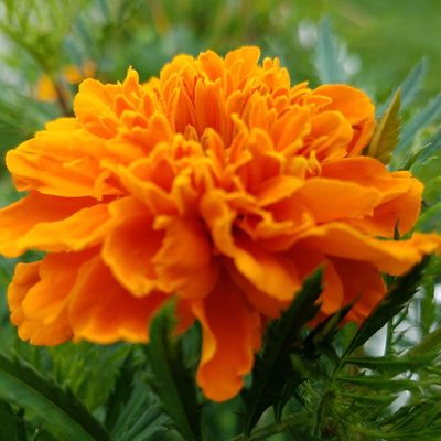 Marigold flower with the greenery around it. Flower Flower Head Nature Petal Plant Beauty In Nature Freshness Close-up Fragility Day Outdoors No People Leaf Growth Marigold Multi Colored