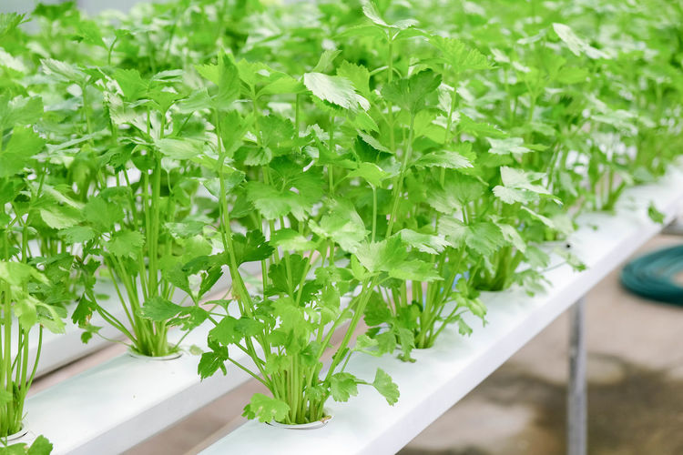Close-up Food Food And Drink Freshness Green Color Growth Healthy Eating Herb High Angle View Indoors  Leaf Nature No People Parsley Plant Plant Part Potted Plant Selective Focus Tray Vegetable Wellbeing