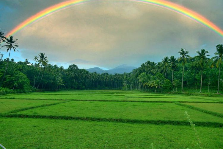 Rainbow Agriculture Beauty In Nature Field Nature Double Rainbow Multi Colored Green Color No People Tranquility Freshness Tree Beauty Rice Paddy Outdoors Day Rainbow Colors Rainbow Sky Rainbows Sky Clouds Rainbow Flag Rainy Days Rainbow Bridge EyeEmNewHere Nature Nature Photography