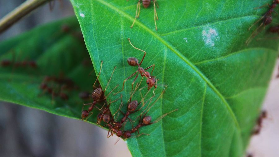 """Ants"" : Unity is strength Ants At Work Ants Close Up Ants Life Insect Plant Part Animals In The Wild Leaf Invertebrate Animal Animal Themes Green Color Close-up No People Animal Wildlife Focus On Foreground Outdoors Plant Day Ant Nature Growth"