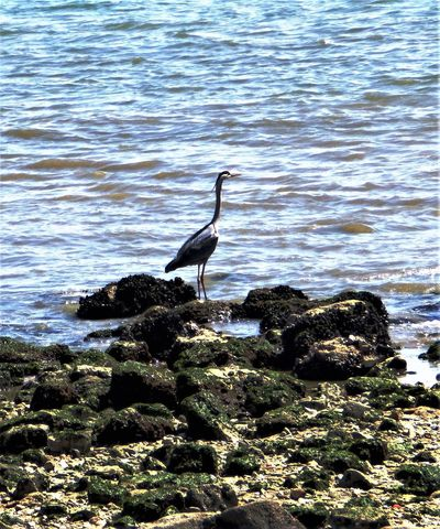 heron on the coast Animal Themes Animal Wildlife Animals In The Wild Beauty In Nature Bird Coast Day Gray Heron Great Egret Lake Lissabon, Nature No People One Animal Outdoors Perching Rock - Object Swan Water