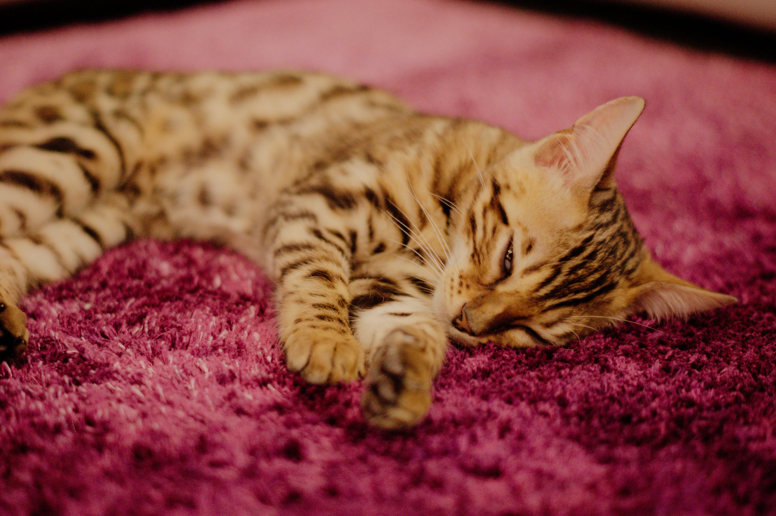 animal themes, animal, cat, pet, mammal, one animal, feline, domestic animals, relaxation, domestic cat, felidae, lying down, whiskers, sleeping, small to medium-sized cats, kitten, no people, close-up, resting, indoors, carpet, eyes closed, tabby cat, selective focus, rug, carnivore, skin, furniture
