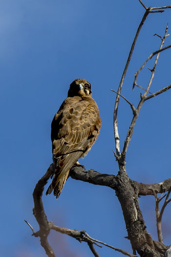 Brown Falcon (Falco berigora) Animal Wildlife Animals In The Wild Animal Themes Tree Vertebrate One Animal Bird Animal Branch Perching Sky Clear Sky Plant Low Angle View Nature No People Bird Of Prey Day Blue Bare Tree Falcon - Bird