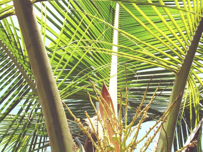 Coconut Trees PalmsTrees Palm Green