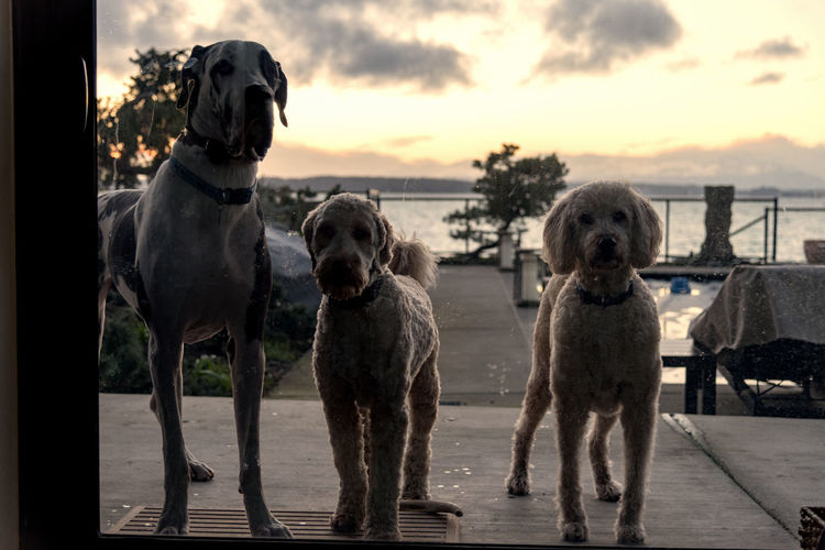 Three dogs begging be be let in the house waiting at the backyard sliding glass door at sunset. Backyard Begging Waiting Adorable Animal Themes Buddies Cloud - Sky Cute Day Dog Domestic Animals Doodles Door Great Dane Mammal Multiple Nature No People Pets Pets Sky Sliding Glass Sunset Waiting Water